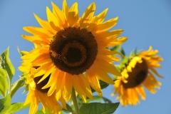 Sunflowers Waupoos #2864