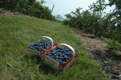 Food Blueberries Basket Waupoos #2535
