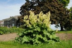Waupoos Rhubarb #2717