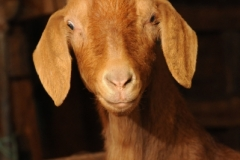 Goat Brown (v) #2387