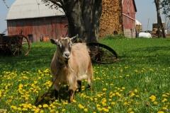 Goat Derrick #2388