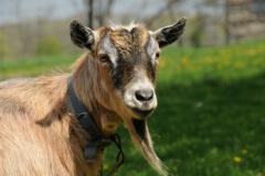Goat Derrick Closeup #2389