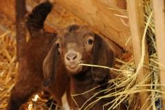 Goat Kid Brown #2390
