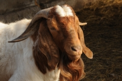Goat Red Beard Closeup #2167
