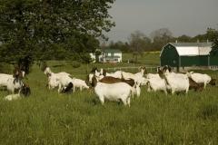 Goats County Road 1 #742