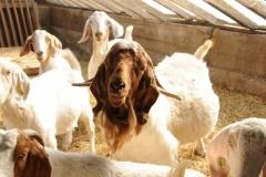 Goats Herd #2168