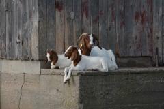 Goats Relaxing #3262