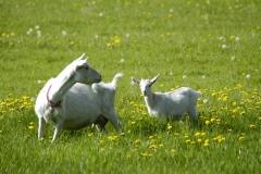 Goats White #677