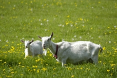 Goats White Smiling #1874