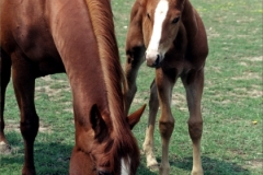 Horse Foal (V) #560