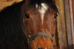 Horse (v) #2393