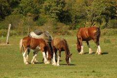 Horses Brown #3266