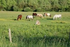Horses Jacks #3267