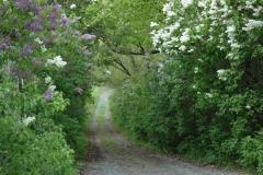 Lane Northport Lilacs #1549