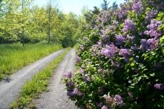 Lane Pt Petre Lilacs #3580
