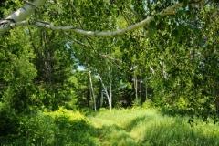 Trees Birch Woods #1946