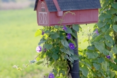 Mailbox Morning Glories (v) #3296