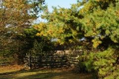 North Beach Pine Tree #2575
