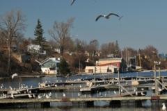 Picton Harbour Seagulls Spring (v) #3310
