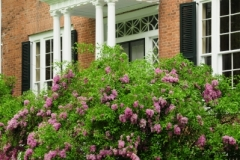 Picton Macaulay House Lilacs (v) #2587