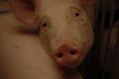 Pig #1058