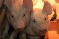 Piglets #1065