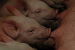 Piglets Feeding #1066