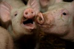 Pigs #1064