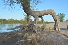 Sandbanks Dunes Roots #3353