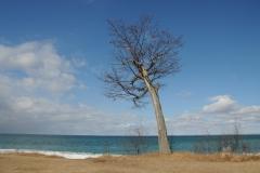 Sandbanks West Pt Tree #2433