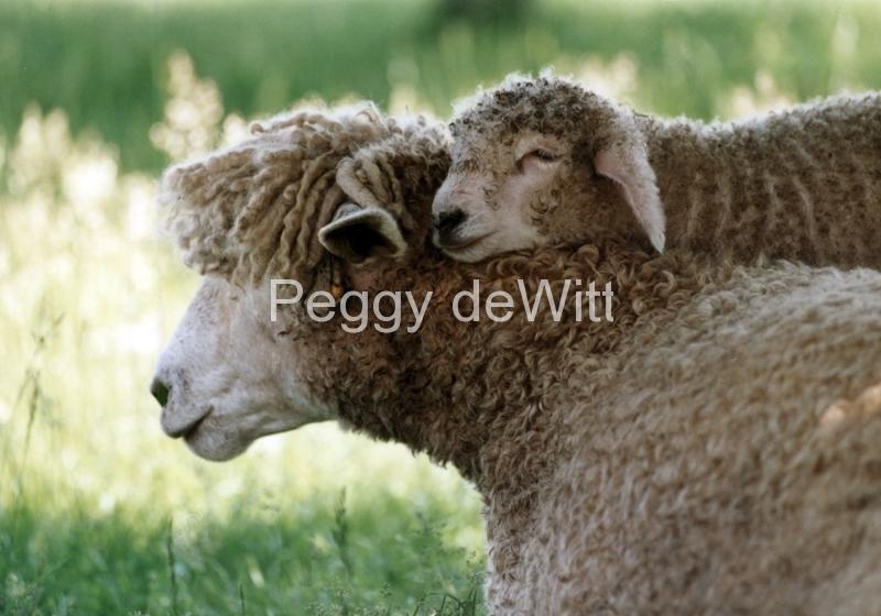 Sheep Mom Lamb #437