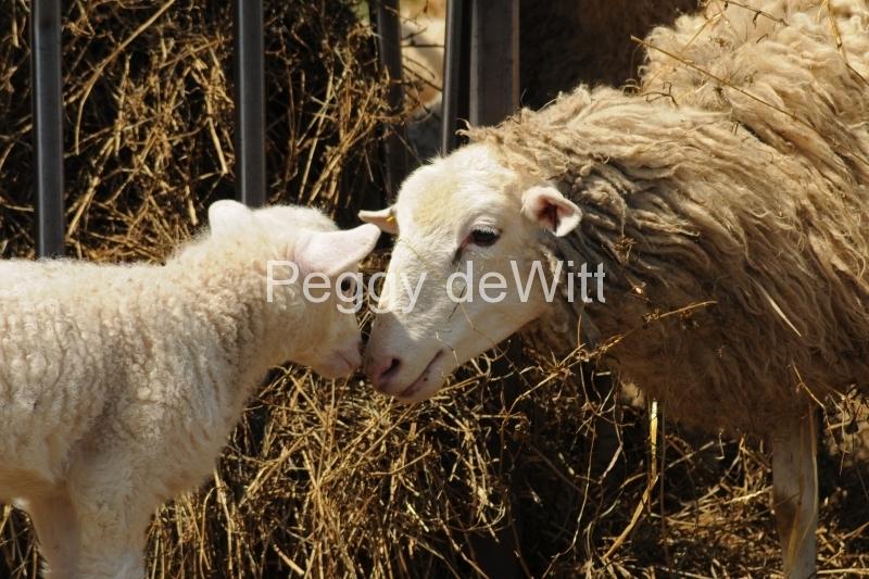 Sheep Mom Lamb Noses Closeup #3047
