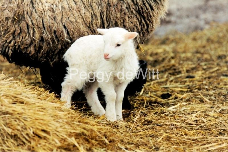 Sheep White Lamb #293 2