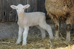 Sheep Baby Lamb #2684