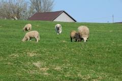 Sheep Dog #1928