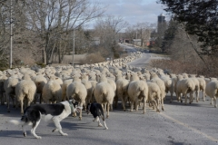 Sheep-Dogs-Herding-3816