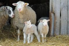 Sheep Flock Dana #2685