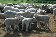Sheep Flock Feeding #757