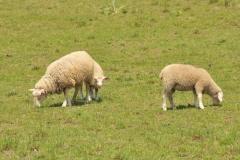 Sheep Grazing #3044