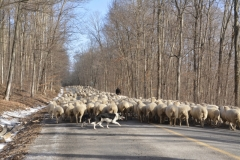 Sheep-Grimmons-Woods-3817
