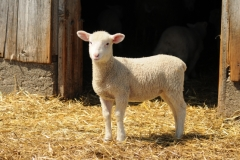 Sheep Lamb #2760
