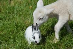 Sheep Lamb Rabbit #3405