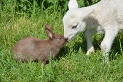 Sheep Lamb Rabbit Brown #3404