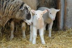 Sheep Lambs Mom #2686
