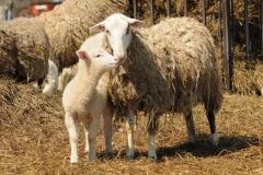 Sheep Mom Lamb Standing #2687