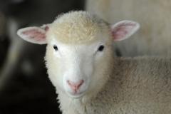 Sheep Pink Ears #3048