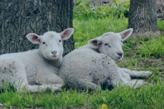 Sheep-Two-Resting-3820