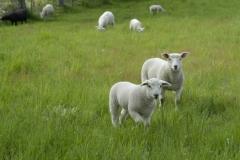 Sheep Walking #1165