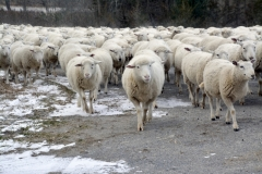 Sheep-Walking-3821