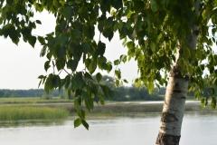 Tree Birch East Lake #3424